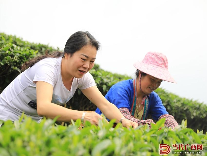 吴纯娟跟群众在采茶。记者 张友豪 摄_副本.jpg