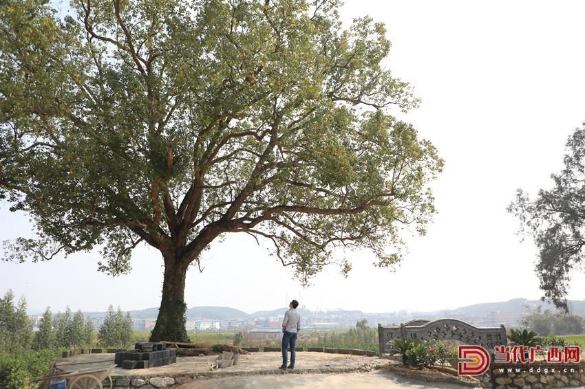 龙头村高大的香樟树,成了游子乡愁的念想。记者 张友豪 摄_副本.jpg