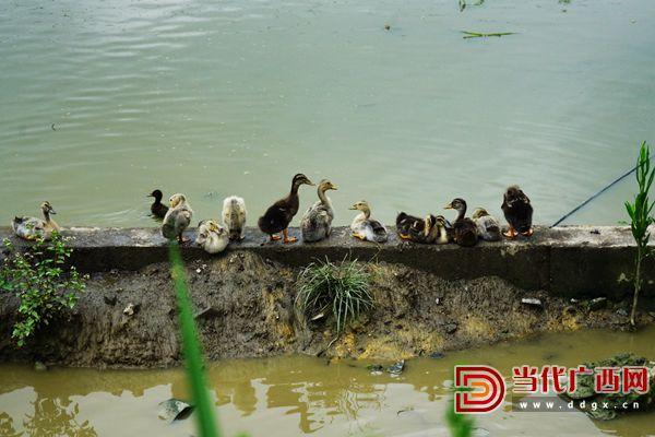 合作社的鸭苗都是由自家香鸭产的蛋孵化而来。记者 覃冰 摄.JPG