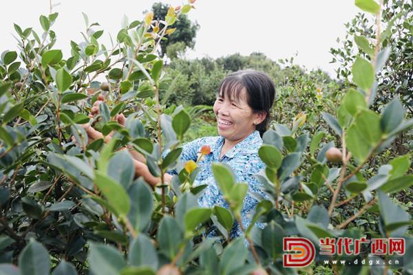 余翠莲在油茶基地里劳作。龚普康摄_副本.jpg